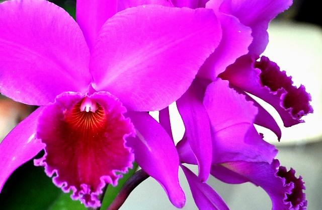 Cattleya labiata 'Vera Cristina' x c. labiata lilás 'Borges' 001.160-2014.3b